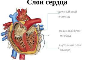 Внутренний слой сердца как называется