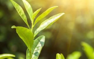 Зеленый чай мочегонный
